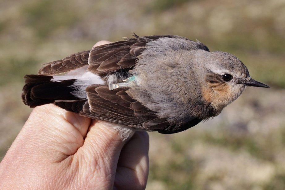 Un oiseau de 25 grammes bat tous les records de migration
