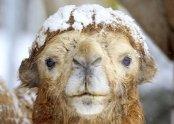 Afbeeldingsresultaat voor chameau en neige