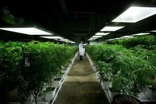 Le cannabis médical pourrait être couvert par les assurances, selon des experts