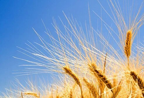 Exposing Babies to Wheat Very Early Might Prevent Celiac Disease: Study 2