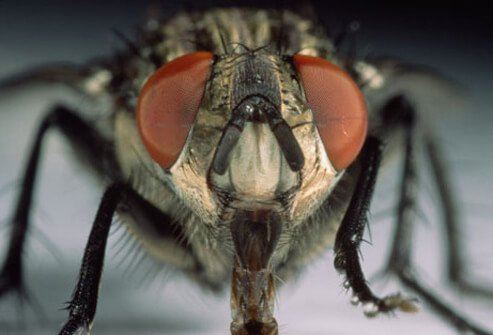 A close up of a house fly or domestic fly (Musca domestica) which can carry harmful bacteria.