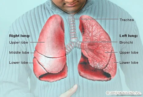 Image result for lung