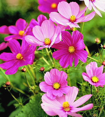 Easiest Flower Seeds to Start   Cottage Garden Living