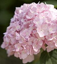 Pink Hydrangea macrophylla