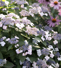 Lavender Lacecap Hydrangea