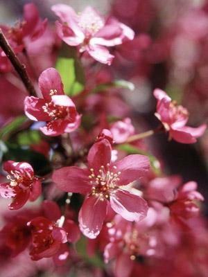 Centurion crabapple blooms