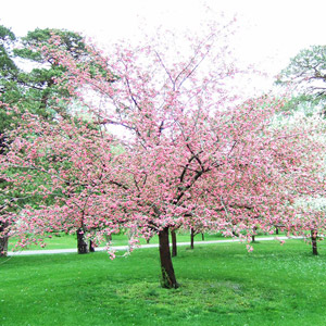Brandywine crabapple tree in bloom