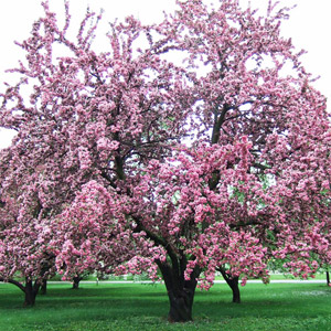 Centurion crabapple tree in bloom