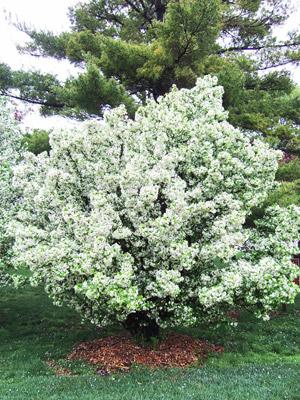 Cinderella crabapple tree in bloom