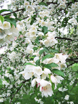 Donald Wyman crabapple blooms