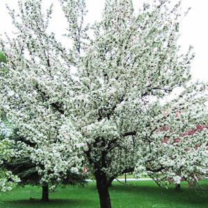 Golden Hornet crabapple tree in bloom
