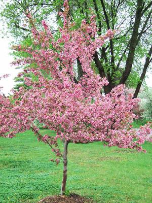 Indian Magic crabapple tree in bloom