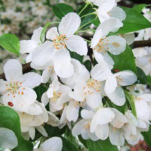 Lancelot crabapple blooms