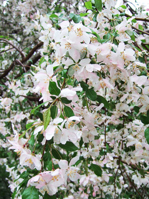 Louisa crabapple blooms