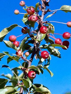 Adirondack crabapple fruits