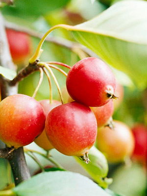Callaway crabapple fruits