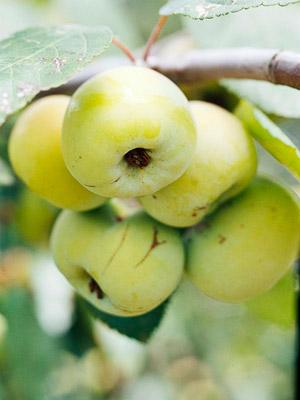 Golden Hornet crabapple fruits