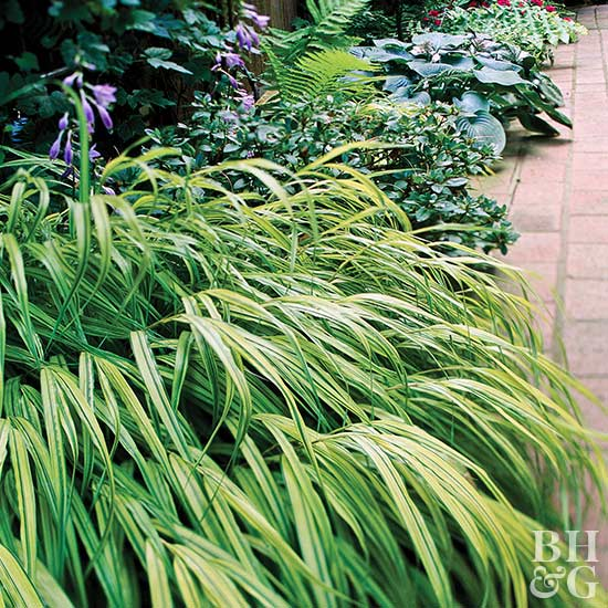 Japanese Forestgrass