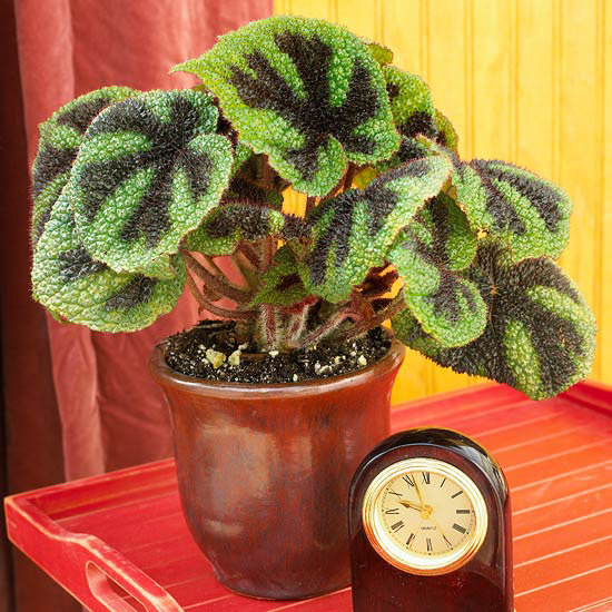 Ferro-Cross Begonia