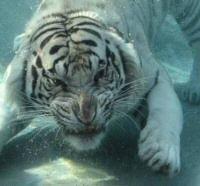 Scuba Tiger!  WTFOMG!