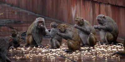 Monkeys Causing Lot Of Troubles In Telugu States
