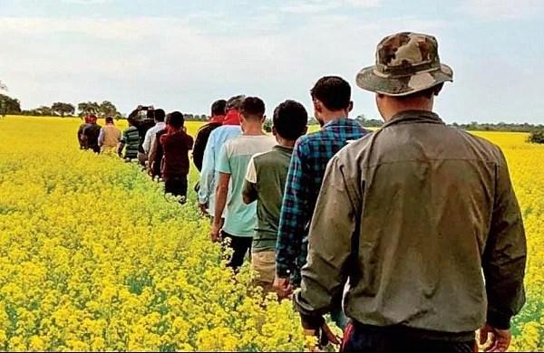 Webp सुनहरी फसल काटना: असम के प्रवासी मजदूर पैतृक भूमि को सरसों के जंगल में बदलने के लिए एकजुट होते हैं