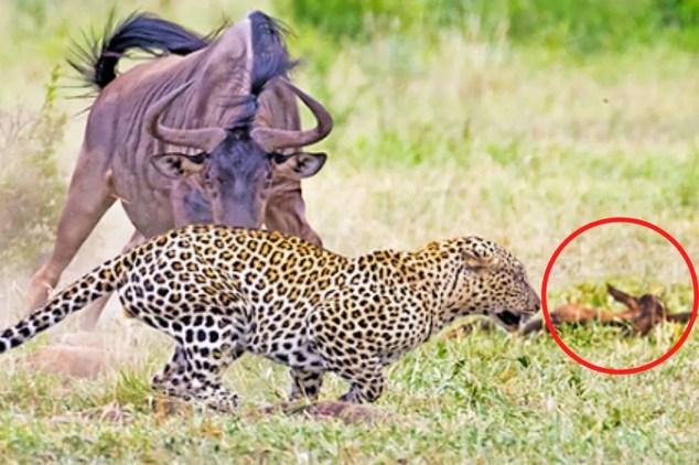 घायल बच्चे को बचाने के लिए एक 'मां' ने यूं चीते पर अटैक किया. (फोटो क्रेडिट- क्रूगर साइटिंग, यूट्यूब चैनल)