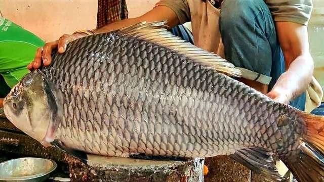 दौलतदिया फेरी टर्मिनल (बांग्ला न्यूज विशाल कतला मछली) से सटे बाजार में मछली की नीलामी की गई।  इसके बाद बाजार में मछलियां खरीदने की हड़बड़ी मच गई।  एक स्थानीय व्यापारी चंदू मोल्ला ने कुल 25,800 रुपये में 1,800 रुपये प्रति किलो की कीमत पर मछली खरीदी।