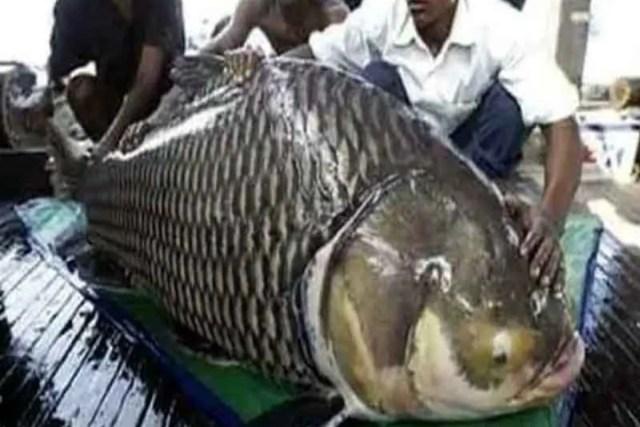 विशाल कतला मछली (बांग्ला समाचार   विशाल कतला मछली) और इसलिए मैं बांग्लादेश के गोलांडा गया था।  पता चला है कि बिल्ली पद्मा नदी में उठी है और उसका वास्तविक वजन 18 किलो 200 ग्राम है।  जाल में फंसने के बाद मछली खरीदने को लेकर हुआ विवाद