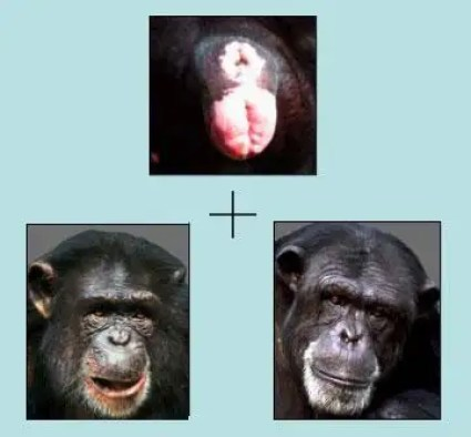 A sex perception task for chimps: The top image shows a generic female rear. The chimp being tested must decide which of the male and female faces presented would have such a backside. Go to the end of the story to find the answer