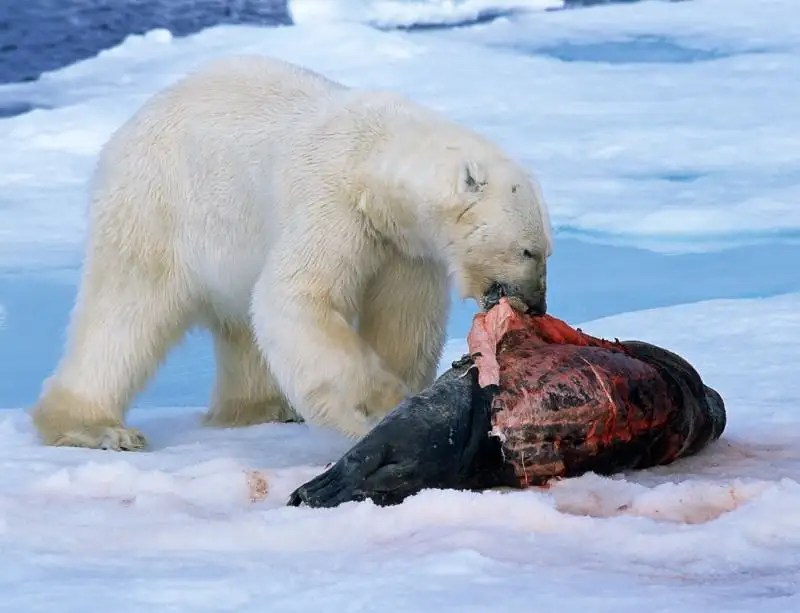 Zoologger Polar Bears Evolved To Eat Junk Food New Scientist