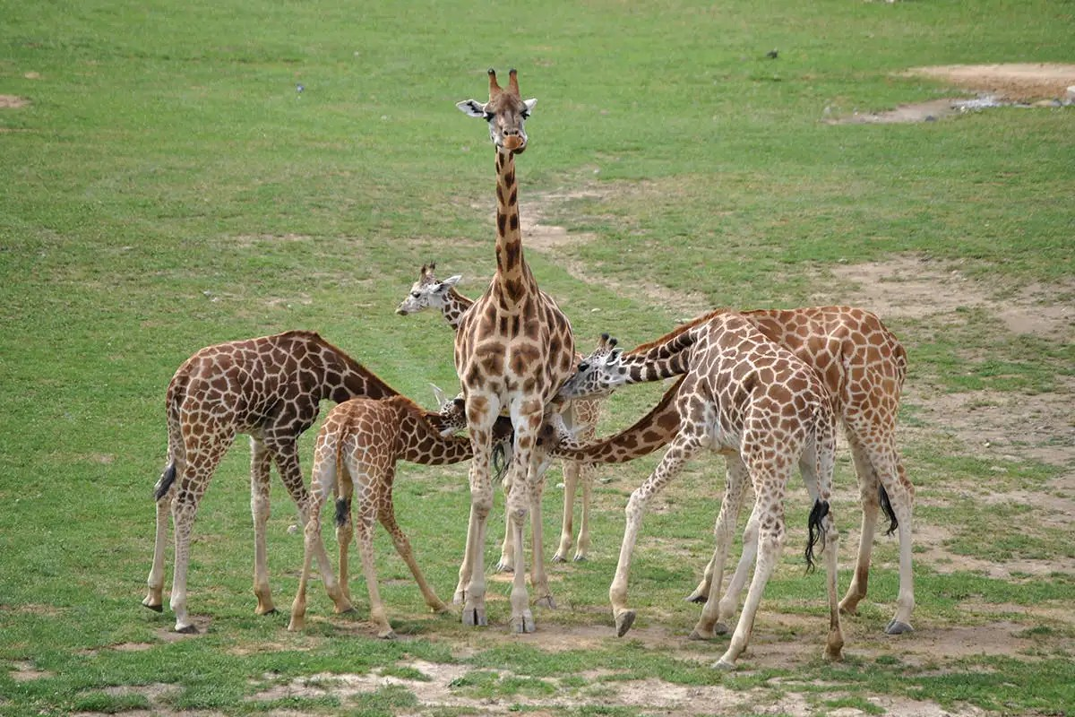 Baby Giraffes Steal Milk And Adults Let Them Do It