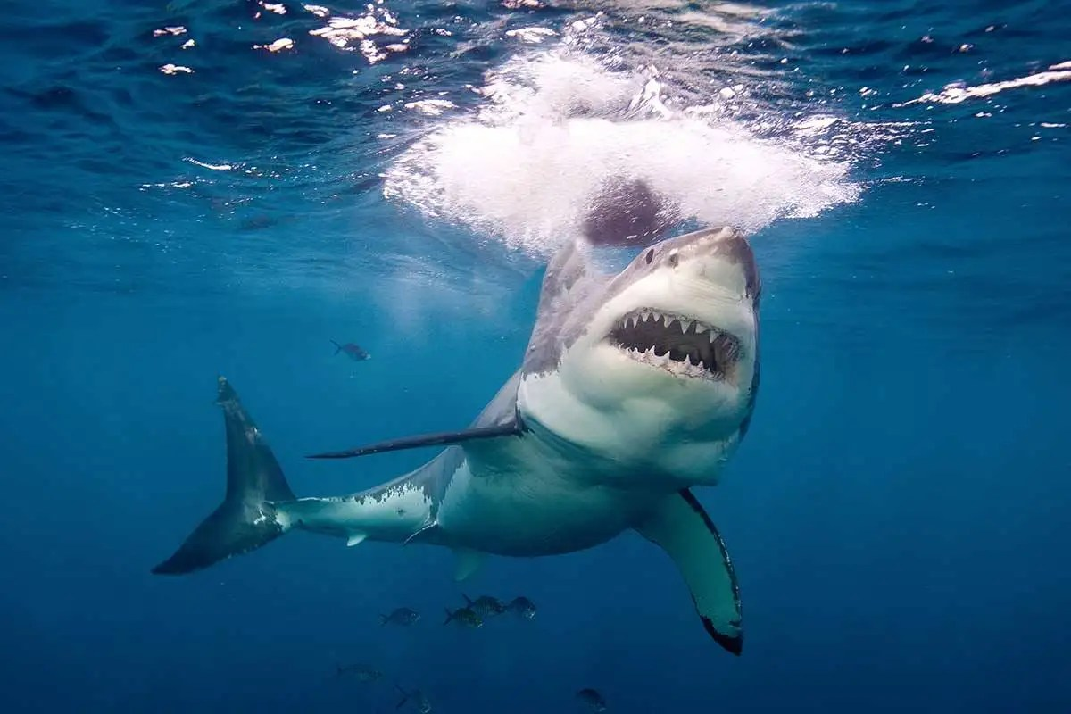 White Shark St May Include Biggest Fish Of All Whale