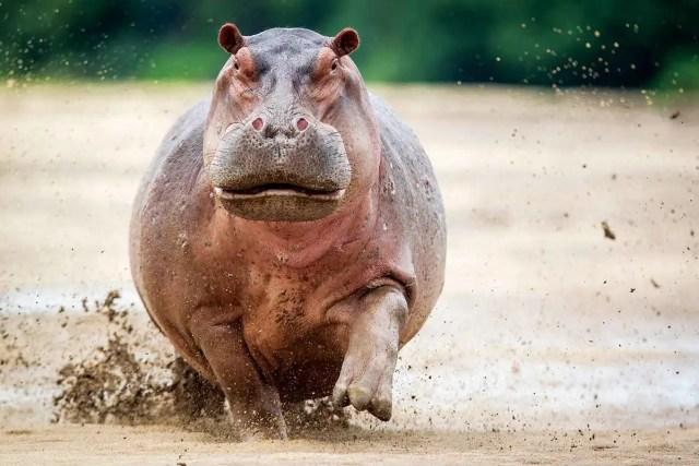 A running hippo