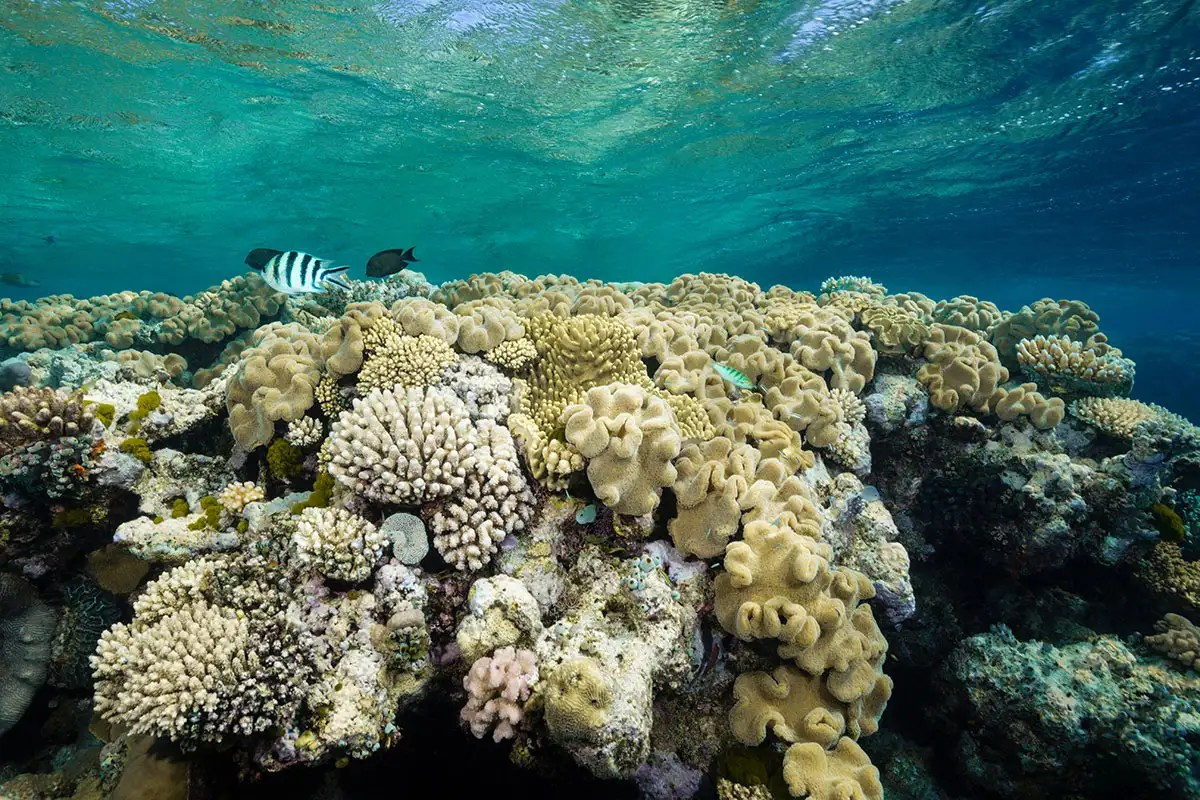 Divers Are Attempting To Regrow Great Barrier Reef With