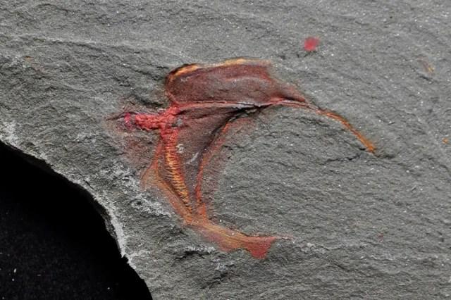 stylophoran fossil