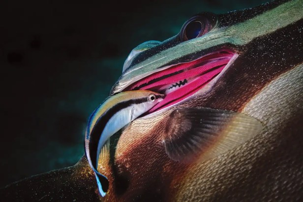 cleaner wrasse fish