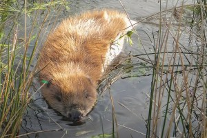 A beaver in the water