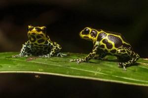 mimic poison frog