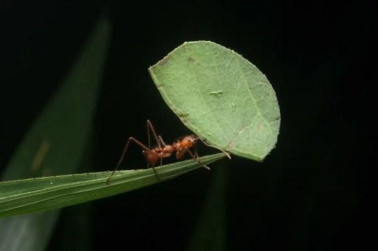 Ant carries a leaf