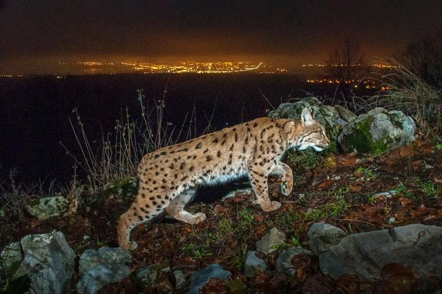 Skyglow on a lynx