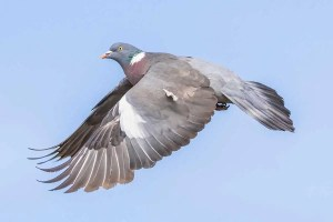 Wood Pigeon (Columba palumbus) with wings down and out, flying in the sky against blue sky in the UK