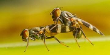 Semen seems to help female fruit flies remember things better