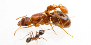 Rodeo ants that ride on backs of bigger ants discovered in Texas