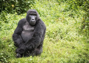How a Ugandan vet saved hundreds of gorillas by treating human disease