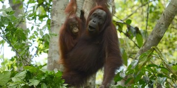 Releasing rescued orangutans into the wild doesnt boost populations