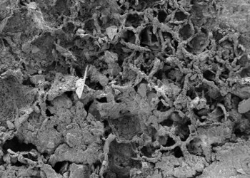The oldest fungi fossils have been identified in a Belgian museum