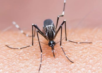 Skin cream applied to mosquito bites stops viruses infecting mice