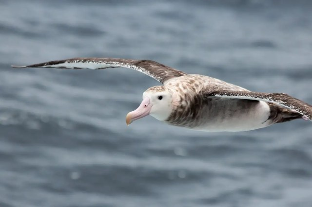 Albatrosses strapped with sensors help spy on illegal fishing boats