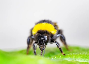 Bees force plants to flower early by cutting holes in their leaves